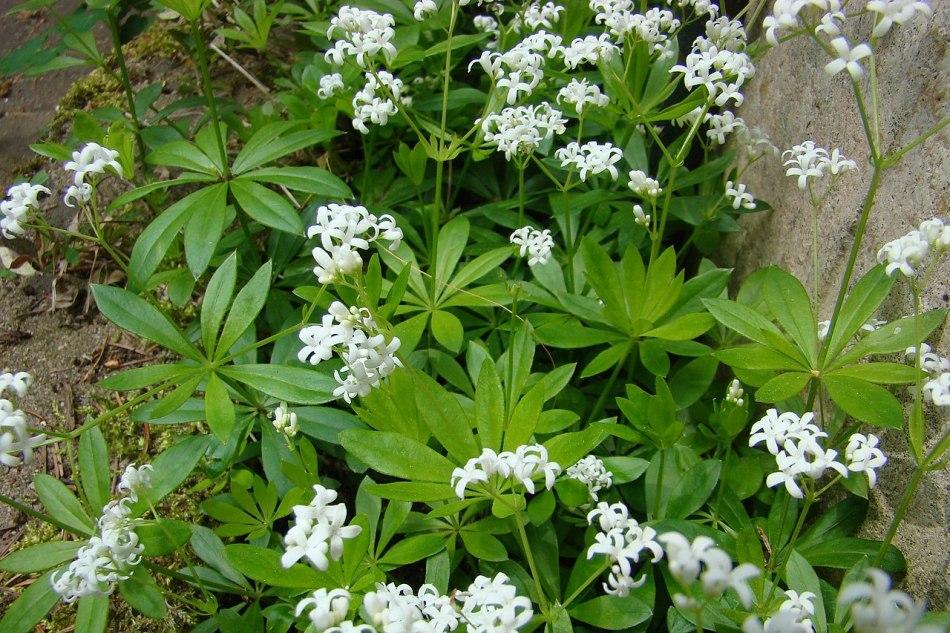 Gaillets odorants avec fleurs blanches près d'une roche