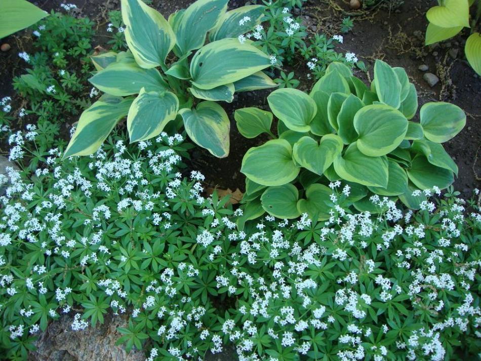 Gaillets odorants avec fleurs blanches formant un tapis autour de 2 hostas.