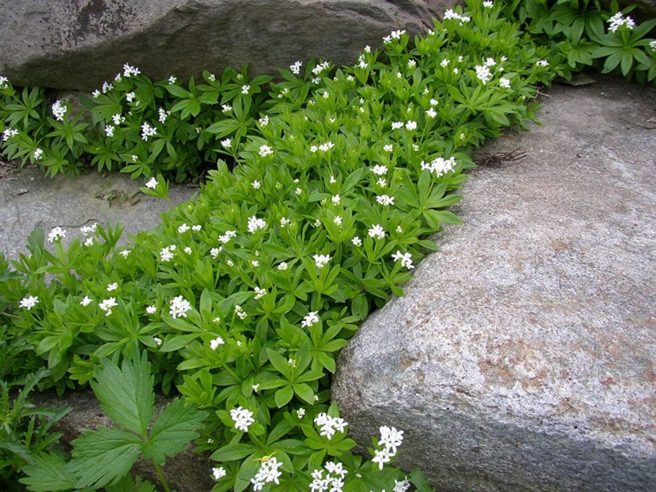 Gaillets odorants avec fleurs blanches entre des roches