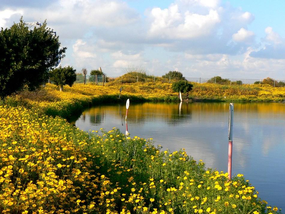 Pré de fleurs jaunes autour d'un lac.