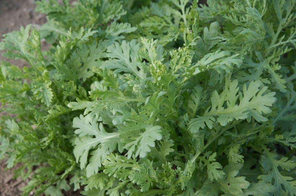 Feuilles vert grisâtres et très découpées d'un chrysanthème couronné