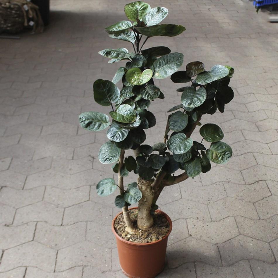 Plante à tronc ligneux enflé, feuilles presque rondes vert bourgogne.