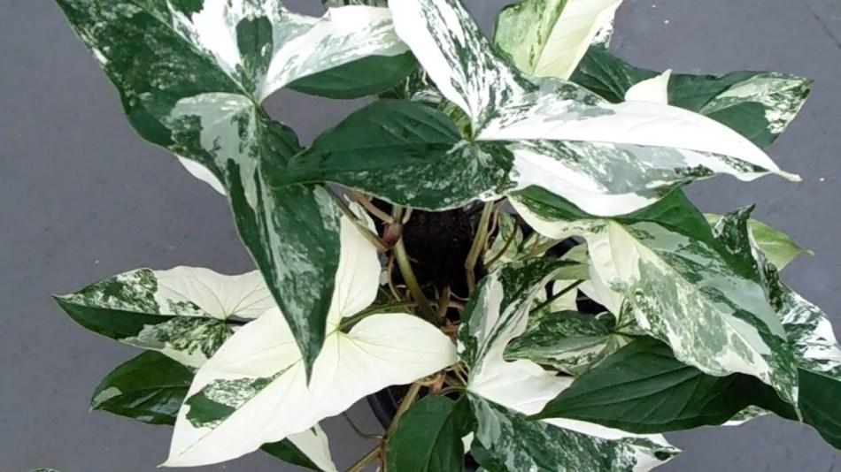 Plantes aux feuilles en forme de tête de fleur, verte avec grandes sections blanches.