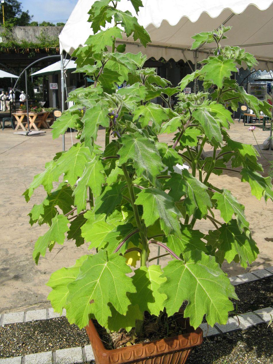Plante de morelle mammiforme dans un grand pot, grosses feuilles en forme de feuille d'érable.