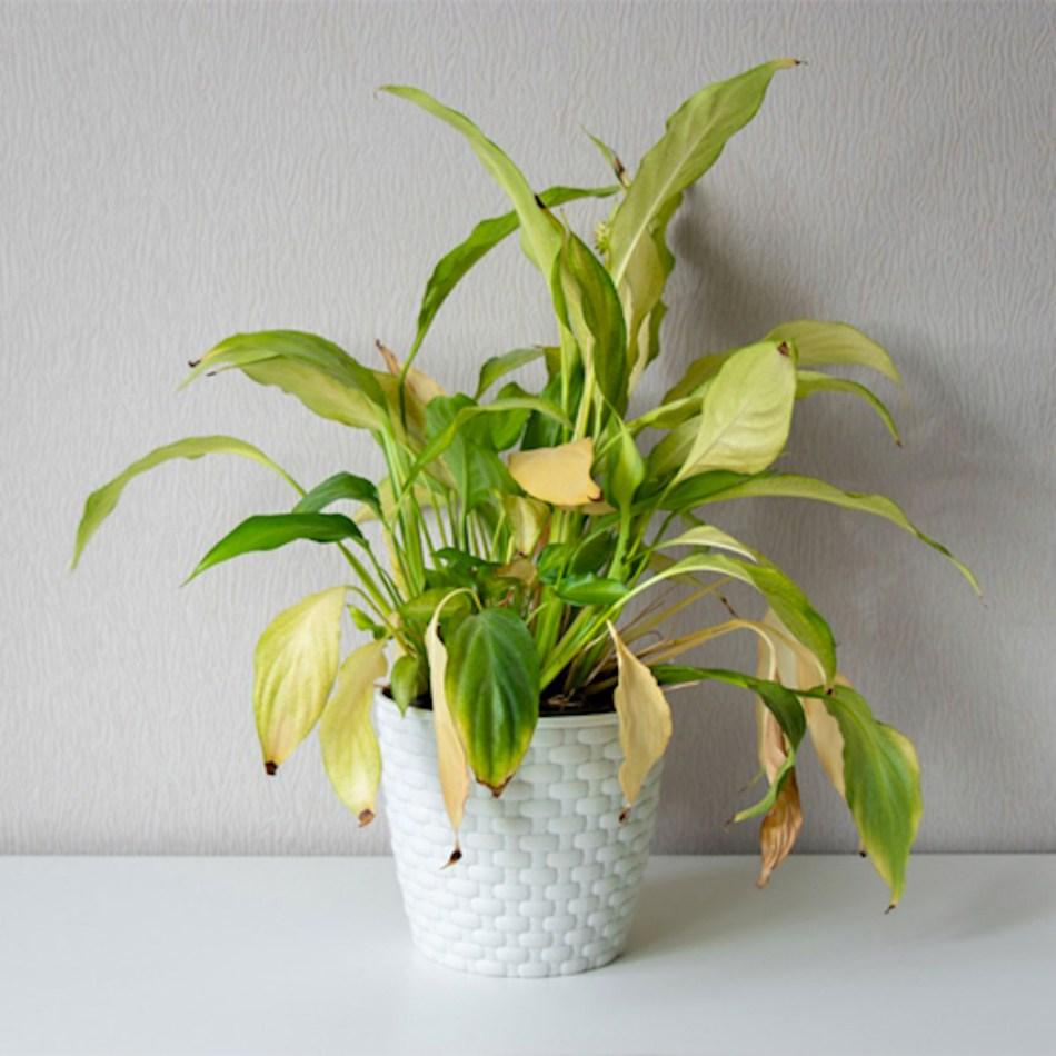 Plante à feuilles jaunes causée par un arrosage excessif.