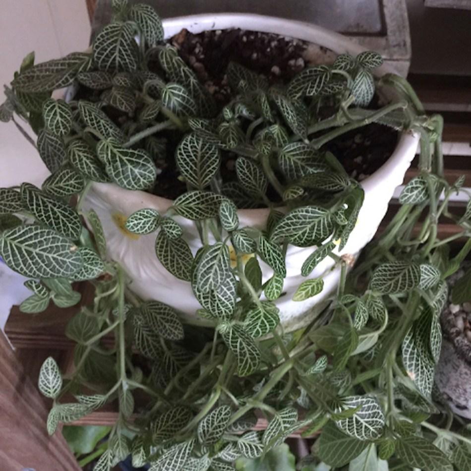 Fittonia fané avec des nervures blanches sur des feuilles vertes.