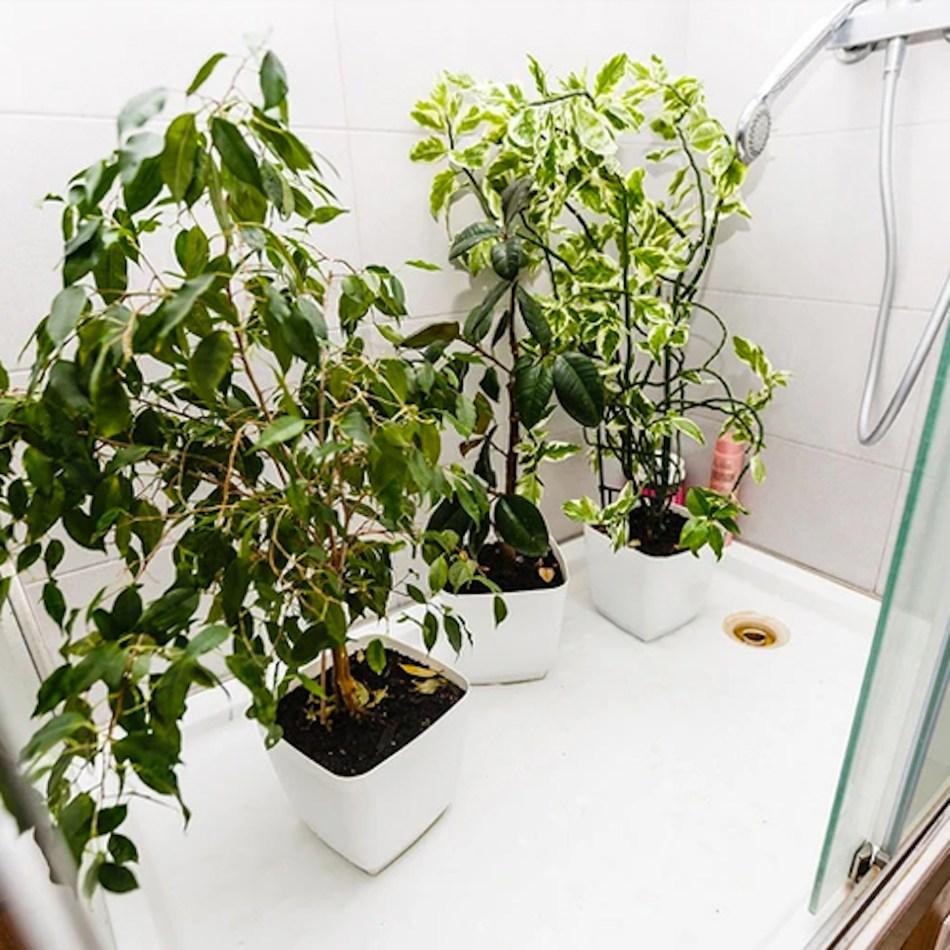 Plantes sous la douche à arroser.