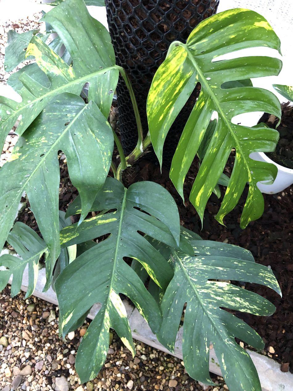 Pothos ou liane du diable (Epipremnum aureum) mature, avec des feuilles découpées marbrées de jaune.