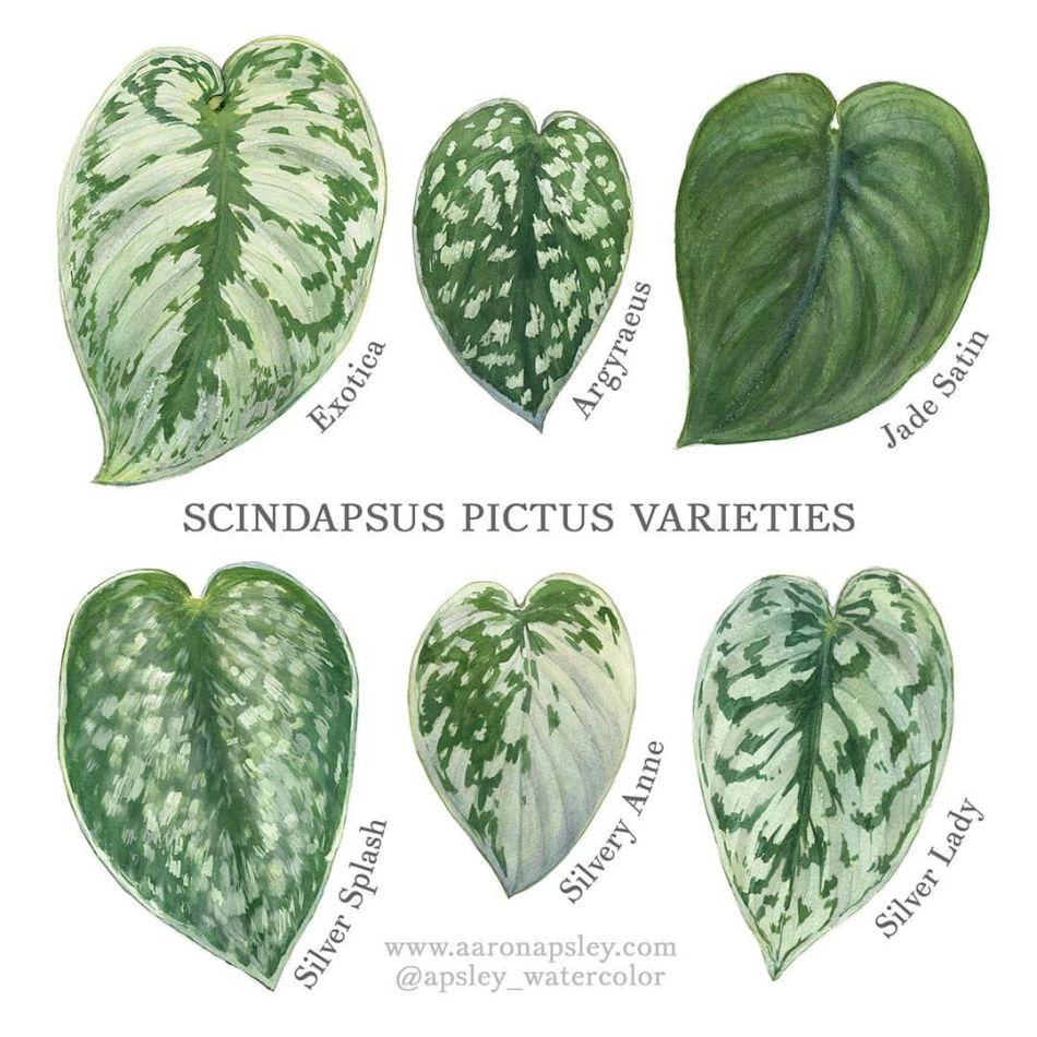 Illustration montrant les feuilles de différents cultivars de scindapsus.