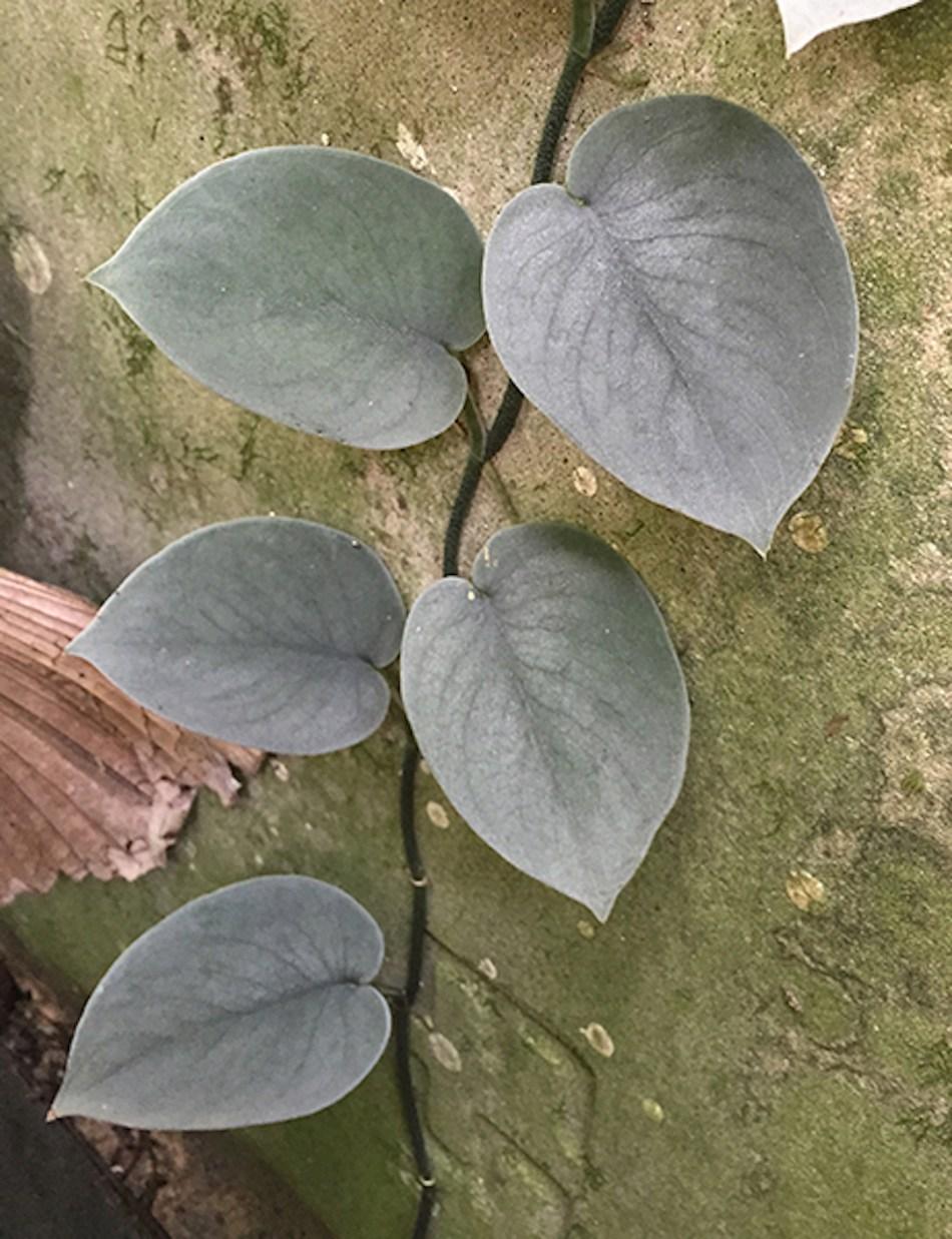Le scindapsus 'Platinum' a des feuilles presque entièrement argentées.