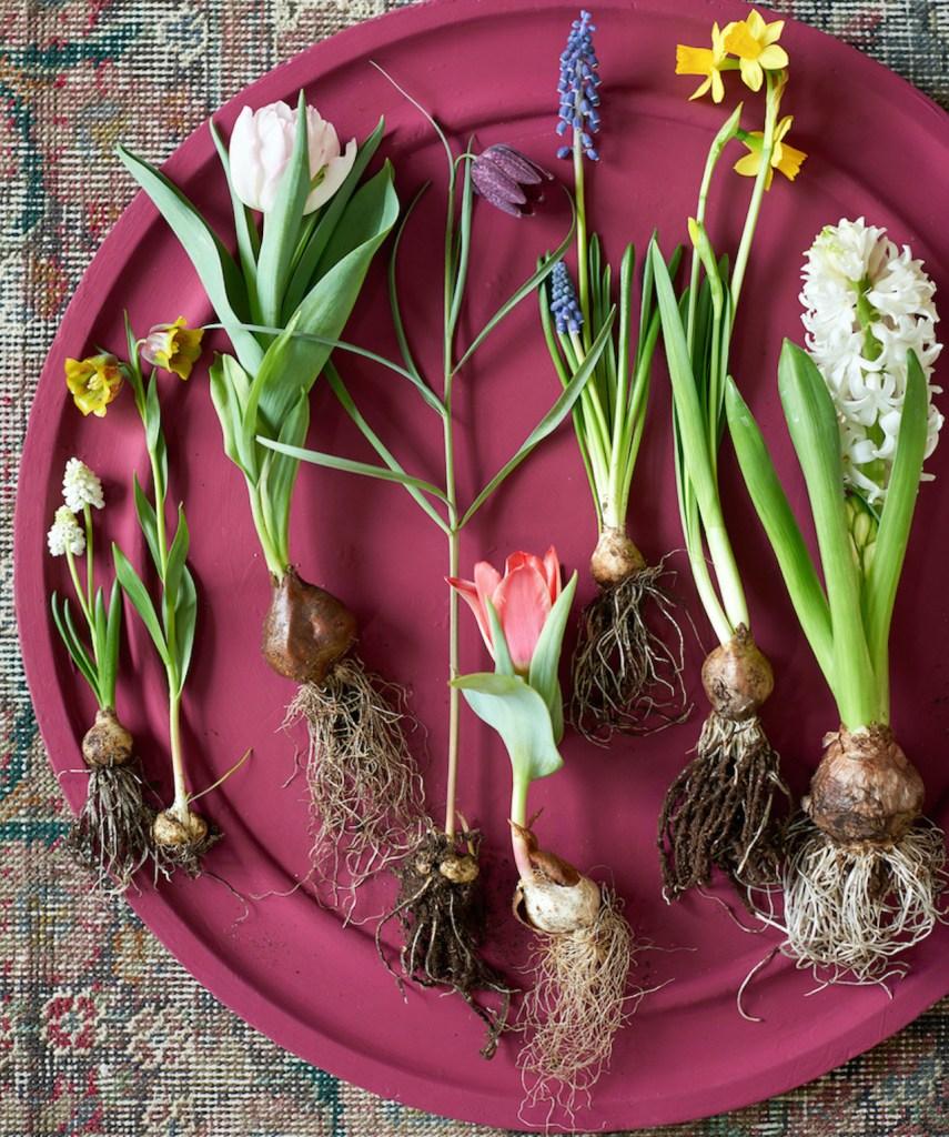Bulbes de printemps retirés du sol, montrant leur bulbe et leurs racines. Sur une assiette rouge.