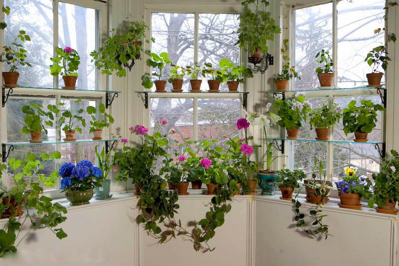 Trois fenêtres avec des plantes d'intérieur dont des pélargoniums, certains en fleur.
