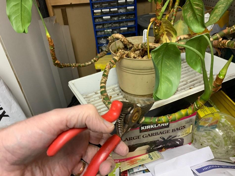 Aglaonéma vieilli avant la métamorphose, avec ses tiges torsadées et courbées, dans un bac. Les sécateurs sont sur le point de couper une tige.
