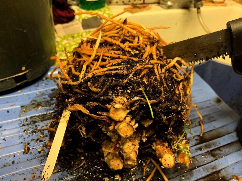 La motte de racines d'un aglaonéma exposée à l'air. On enlève la partie inférieure du pot à la scie.