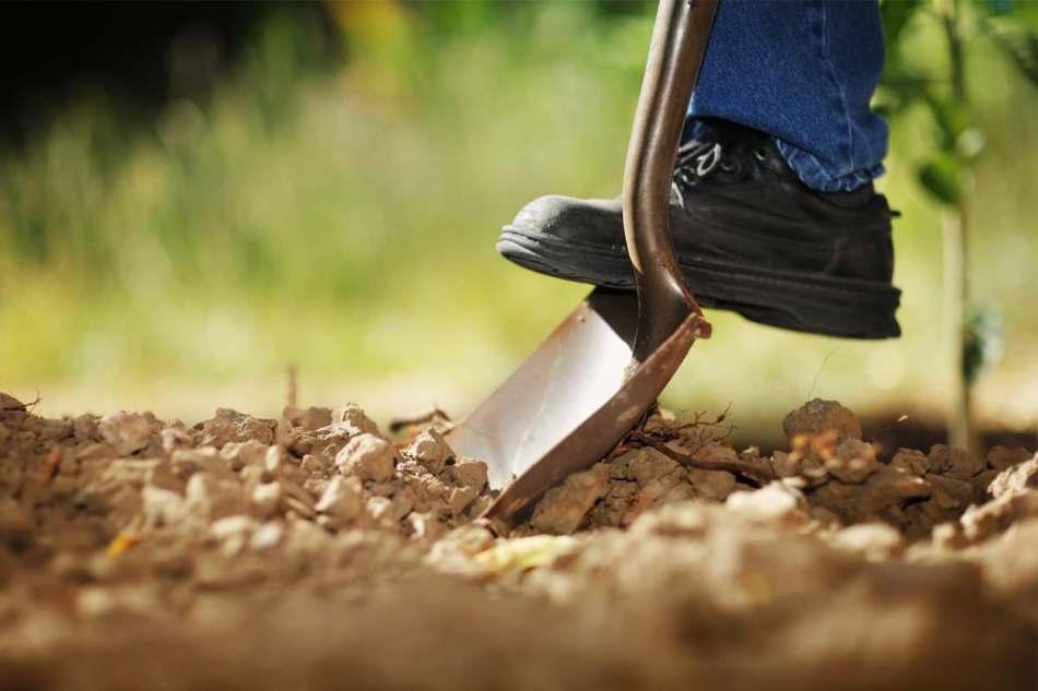 Pelle de jardin qui tranche dans le sol.