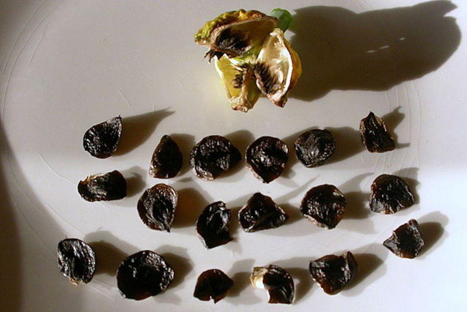 Capsule séchée d'amaryllis dont les graines ont été extraites.