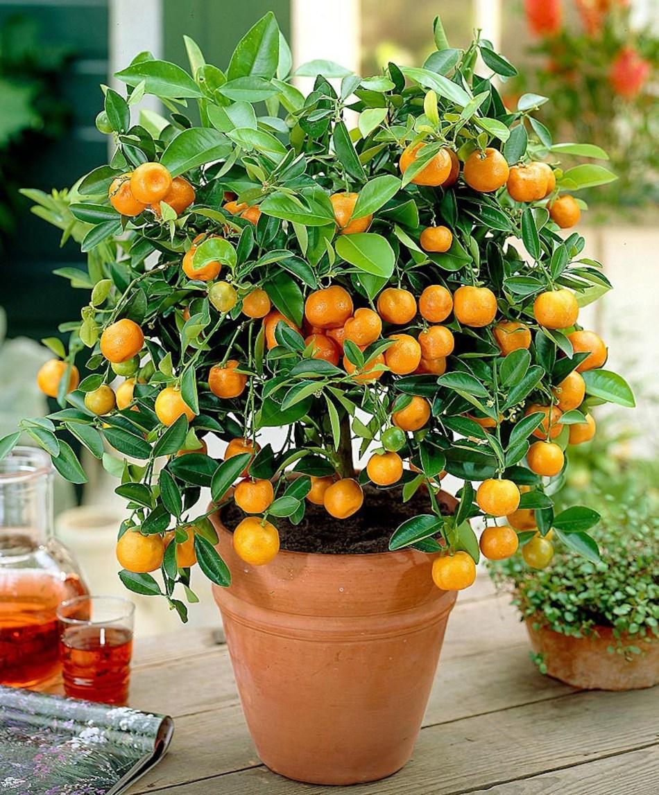 Calamondin aux fruits orange en pot d'argile placé sur une table.