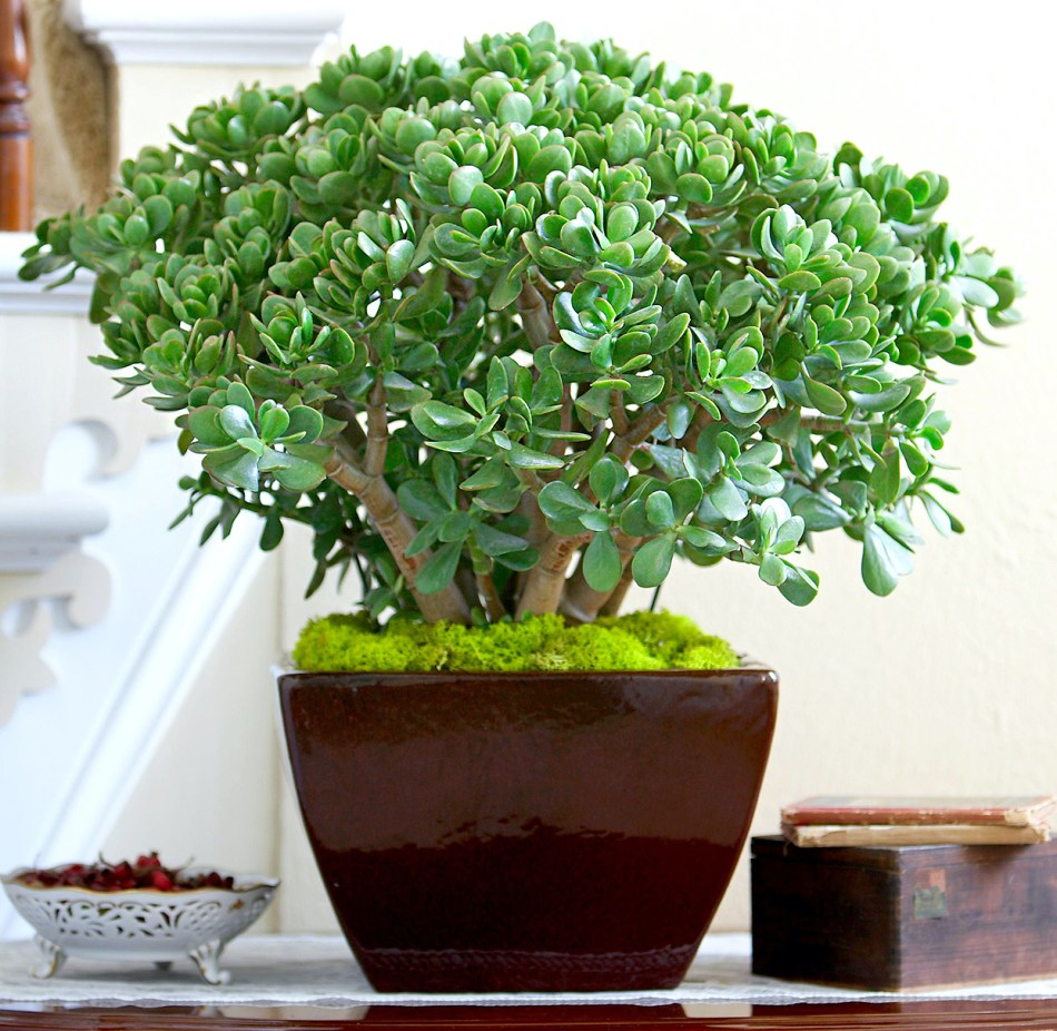 Plante de jade dans un pot de style oriental, avec paillis de mousse préservée.