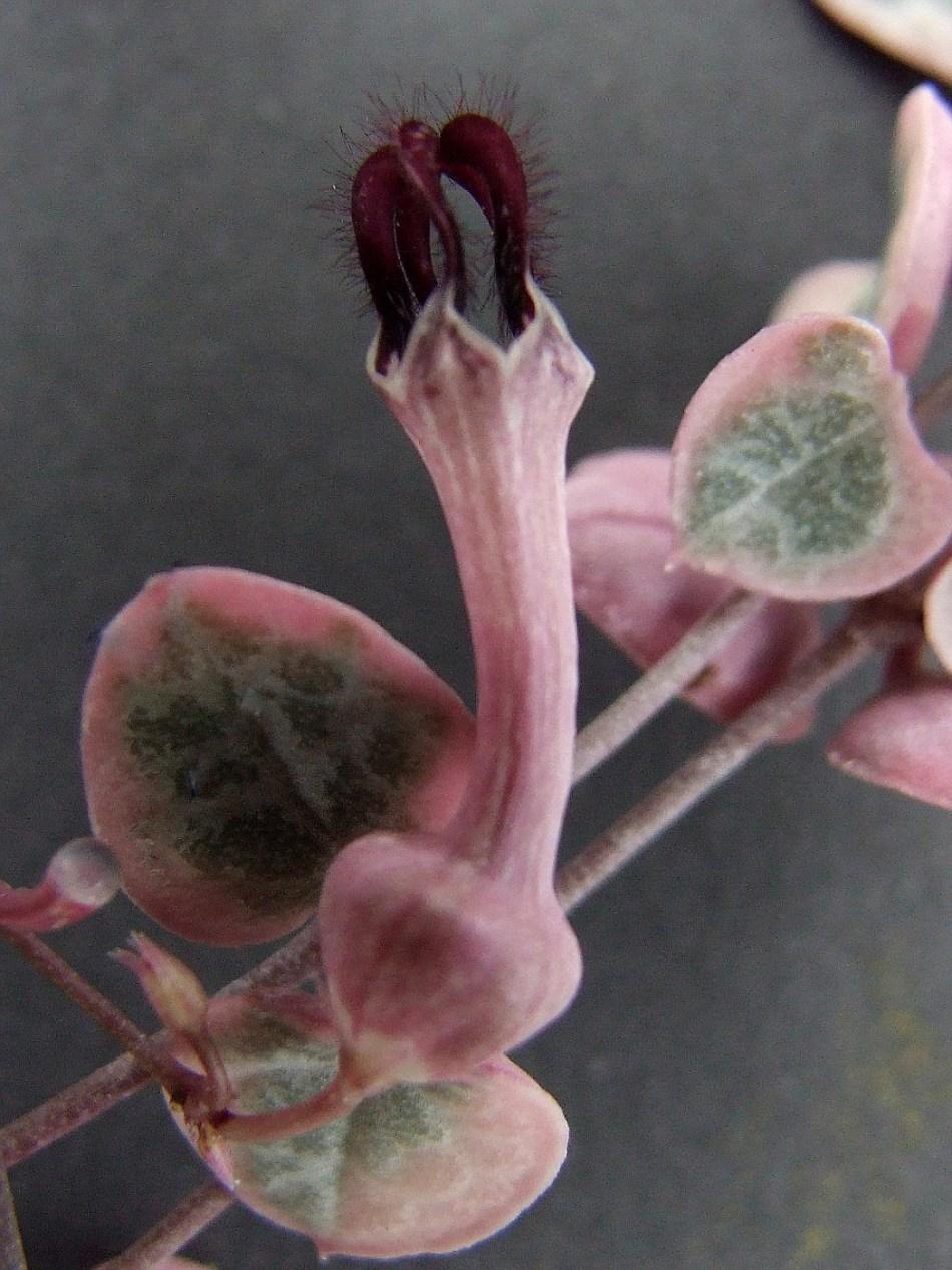 Curieuse fleur en forme de lanterne de chaîne des cœurs panachée, rose avec le dessus duveteux pourpre profond.