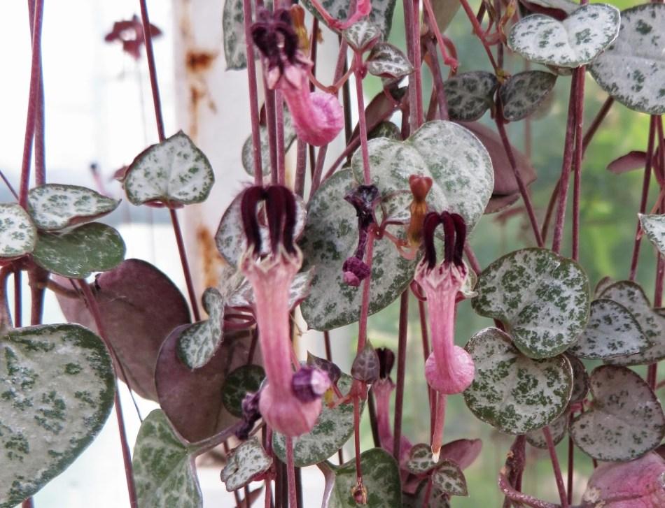 Chaîne des cœurs régulière, sans panachure. Aussi, fleurs rose et pourpre foncé en forme de lanterne.