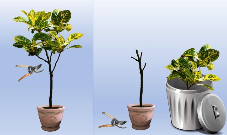Arbre d'intérieur avant la taille, avec ses feuilles intactes, et après la taille radicale, avec toutes les feuilles enlevées.