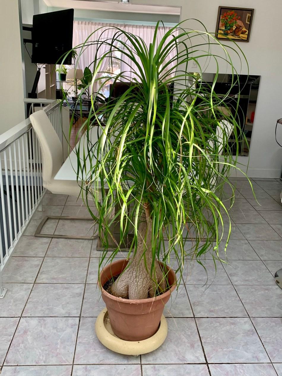 MVieux beaucarnéa avec un tronc épais et des rosettes multiples de longues feuilles retombantes.