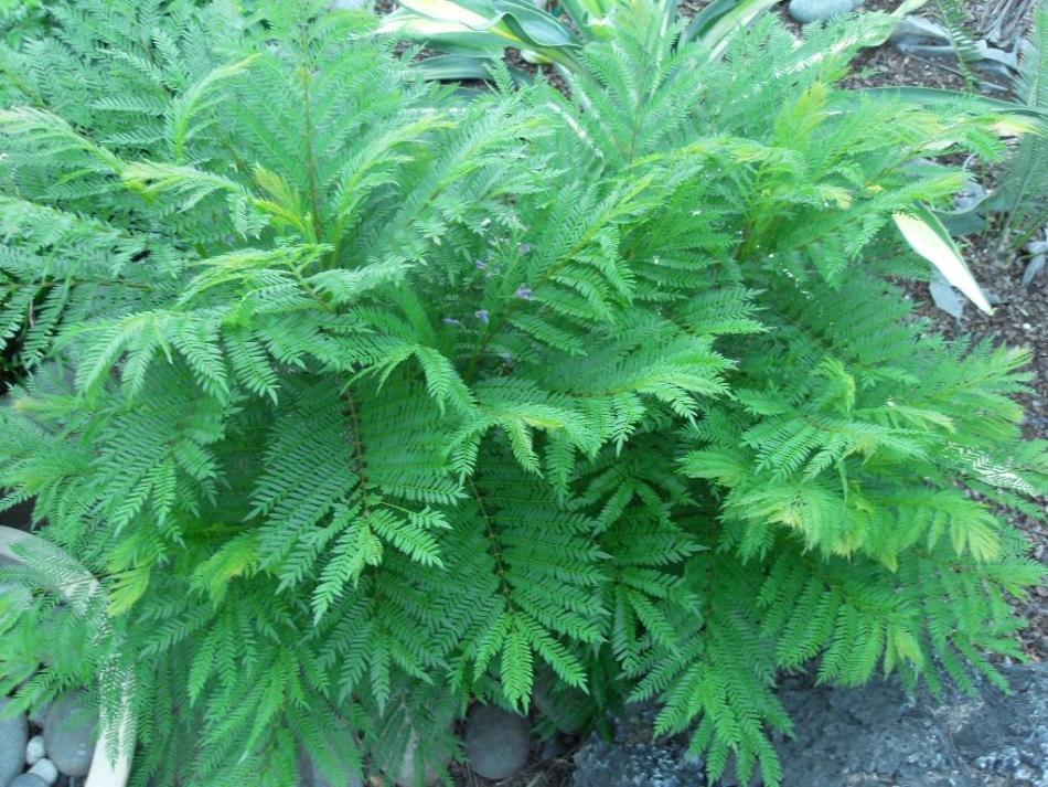 Jacandra taillé en forme d'arbuste. Feuilles très découpées, comm une fougère.