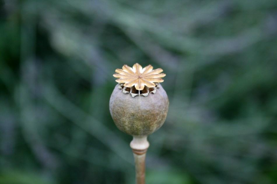 Capsule de pavot montrant les ouvertures d'où sortent les graines.