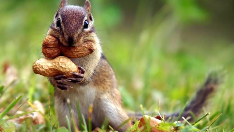Tamia rayé tendant arachides dans la bouche et les pattes.