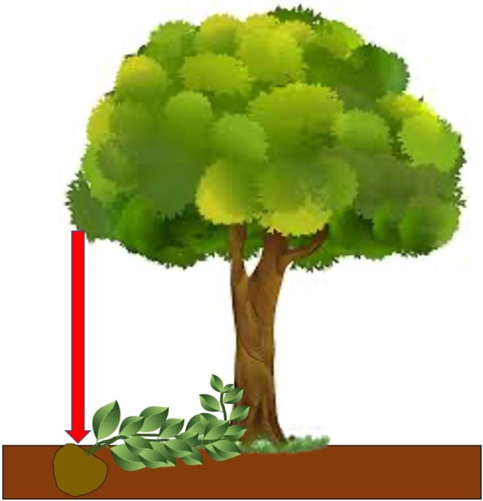 Illustration de la plantation d'une grimpante à la ligne d'égouttement d'un arbre.