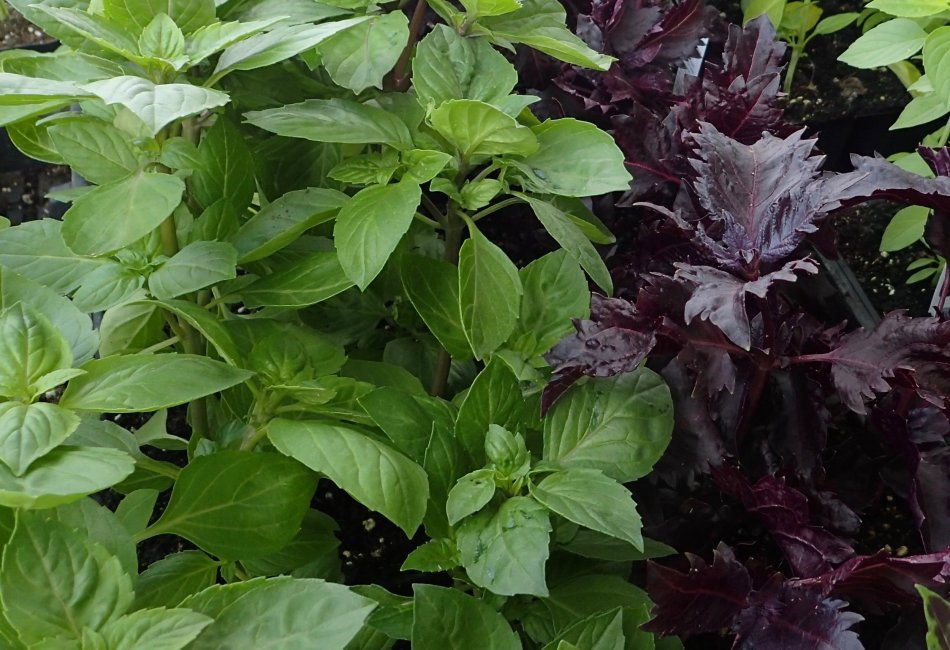 Basilic citron thaï et basilic pourpre 'Dark Purple'
