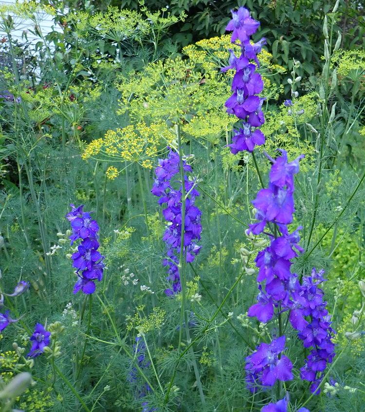 Le pied d'alouette et l'aneth fleurissent à l'unisson au début de l'été. Les deux sont faciles à cultiver en semant des graines directement dans le jardin tôt au printemps.