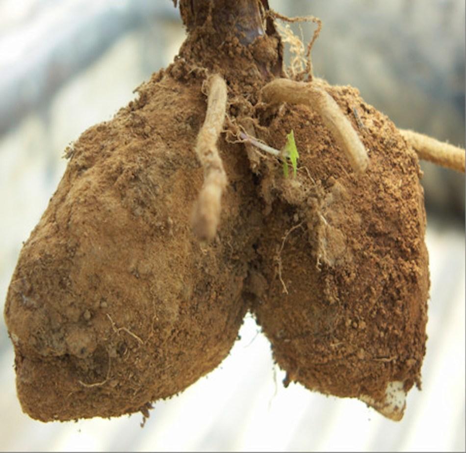 Tubercules jumelés d'une espèce d'Orchis.