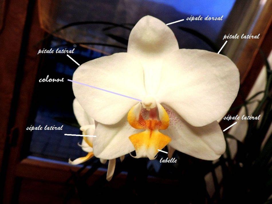 Fleur d'orchidée montrant les pétales, les sépales, la colonne et la lèvre