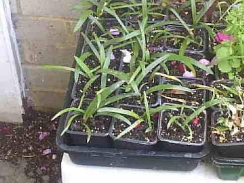 Jeunes amaryllis rempotées dans de petits pots individuel