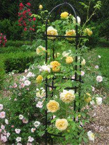 Rosier graham Thomas à fleurs jaunes doubles sur un obélisque.