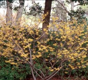 Hamamélis de Virginie en fleurs à l'automne, fleurs jaunes.