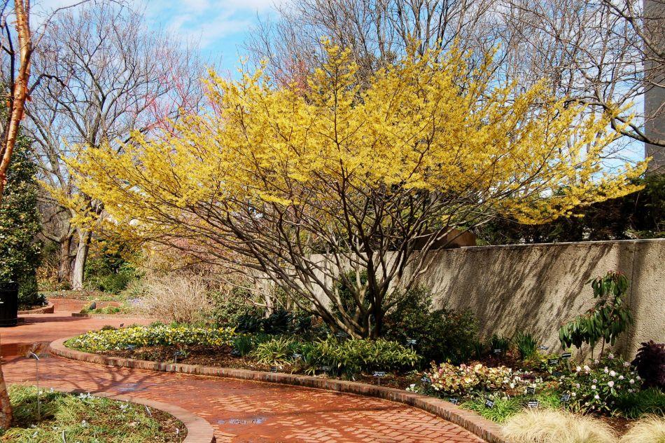 Grand arbuste d'hamamélis de Virginie  en fleurs jaunes près d'un mur de soutènement et un sentier en briques.
