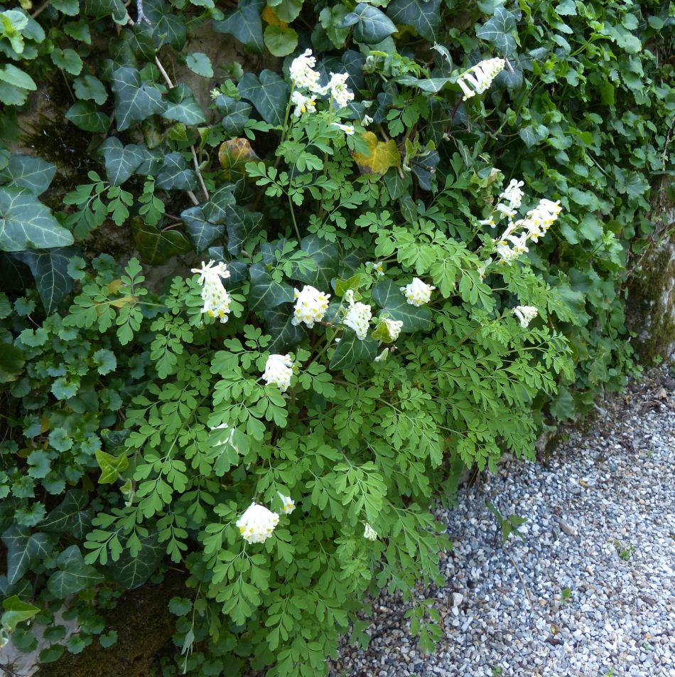 Fausse-fumette blanche naturalisée avec des plantes de lierre.