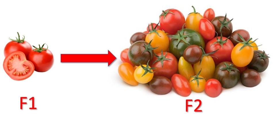 Les tomates F1 sont identiques; les tomates F2 sont variables.