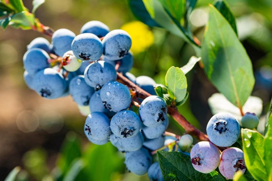 Bleuetier en fruits.