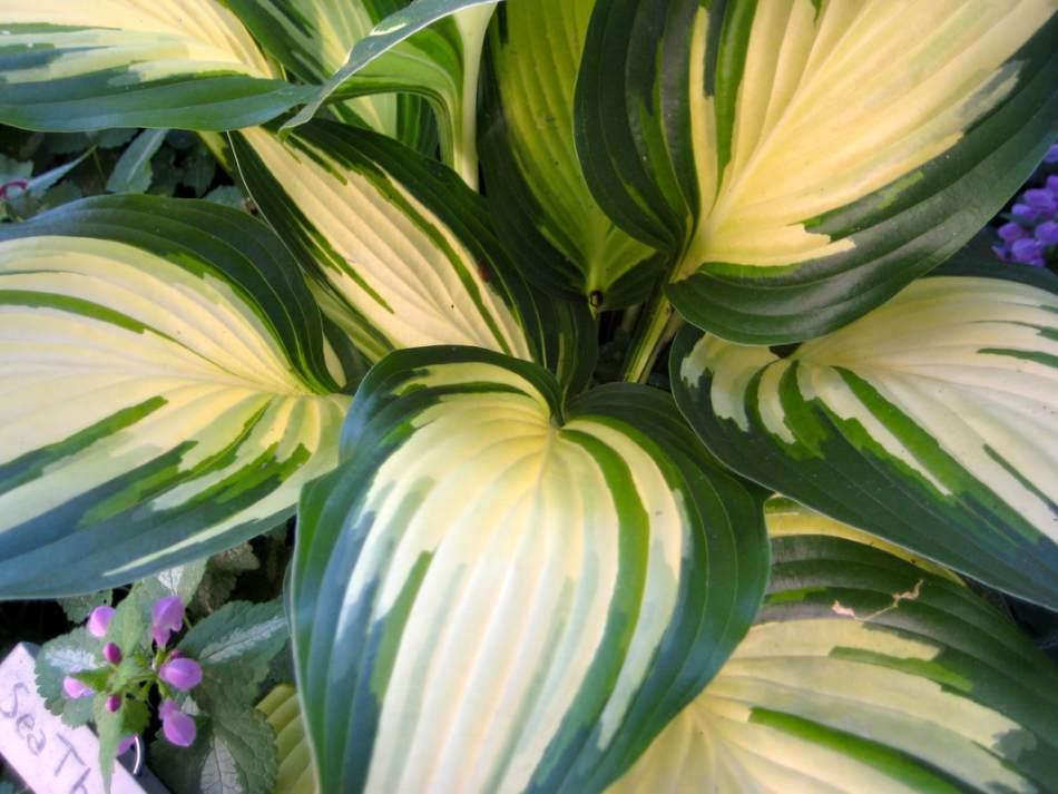 Hosta à feuilles panachées vert et jaune pâle