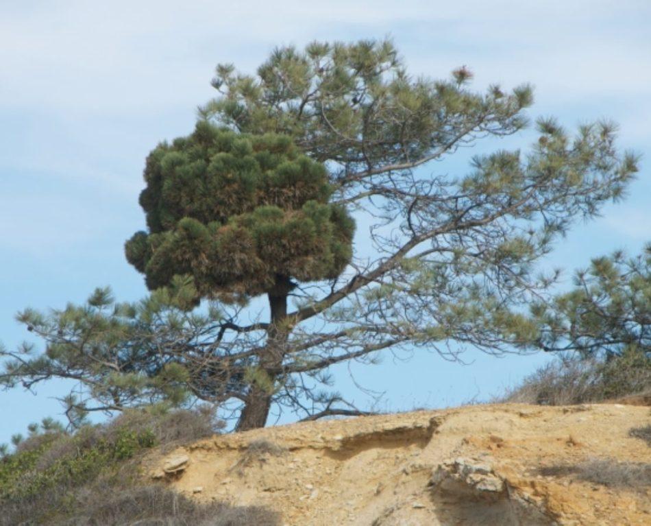 Gros balai de sorcière chez un pin
