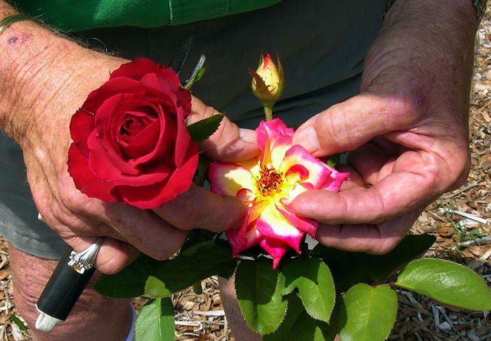 Rose double sans étamines et double mais avec étamines