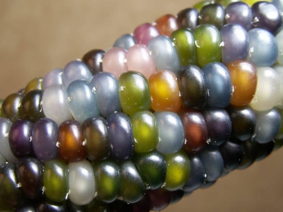 Maïs aux grains multicolores.