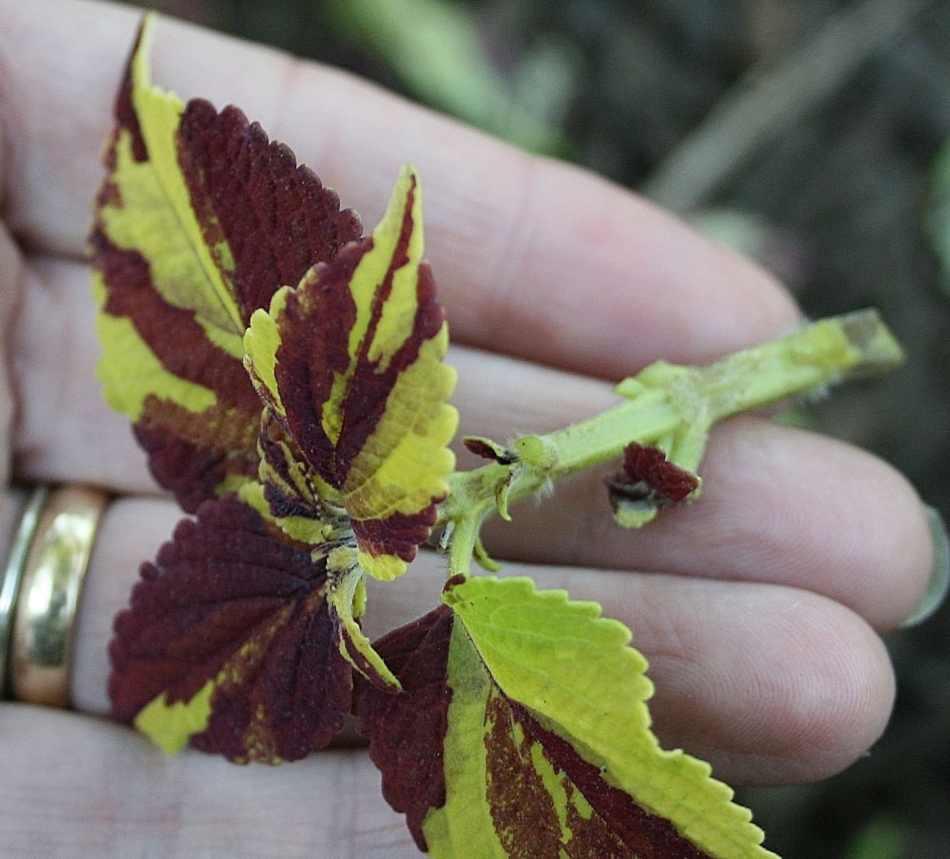 Bouture de coléus avec les feuilles inférieures enlevées.