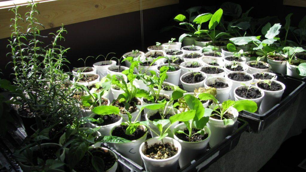 Tasses de plastique utilisées pour des semis.