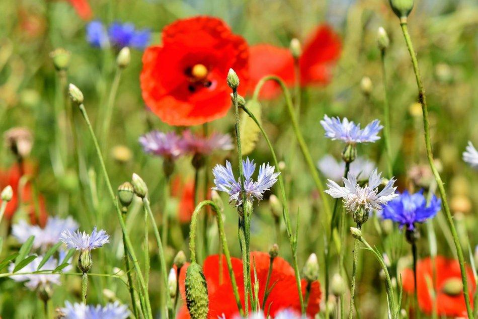 Fleurs annuelles sauvages dans un champ.