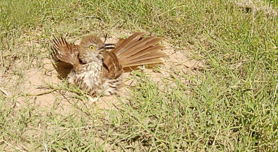 Moqueur roux (Toxostoma rufum) prenant un bain de poussière