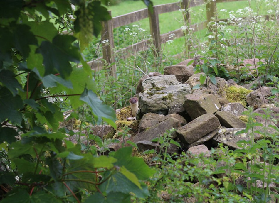 tas de pierres avec une ermine
